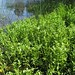 Small photo of Alternanthera philoxeroides habit5c