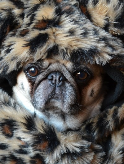 Pug In Leopard