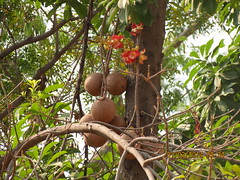 flower, branch, tree, cannonball tree, flora, fruit, couroupita, natural environment, jungle,