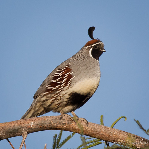 winter arizona birds desert buckeye gambelsquail callipeplagambelii odontophoridae gaqu