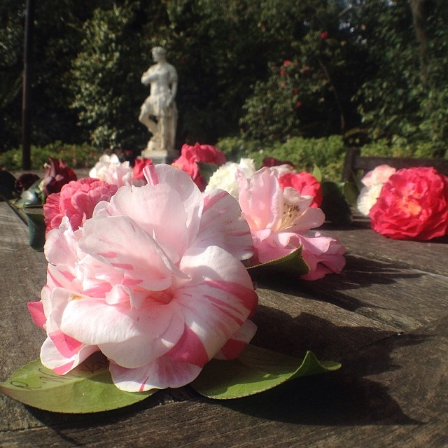 Camelias @thehuntington @olloclip #wideangle