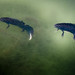Great Crested Newts by peskynewt
