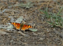 'Zephyr' Hoary Comma butterfly photography by Ron Birrell,  DSC_0023