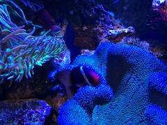 coral reef, coral, coral reef fish, marine biology, invertebrate, marine invertebrates, aquarium lighting, underwater, reef, sea anemone,