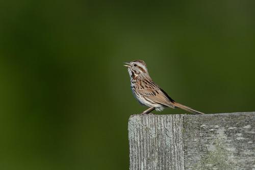 Song Sparrow_45856.jpg