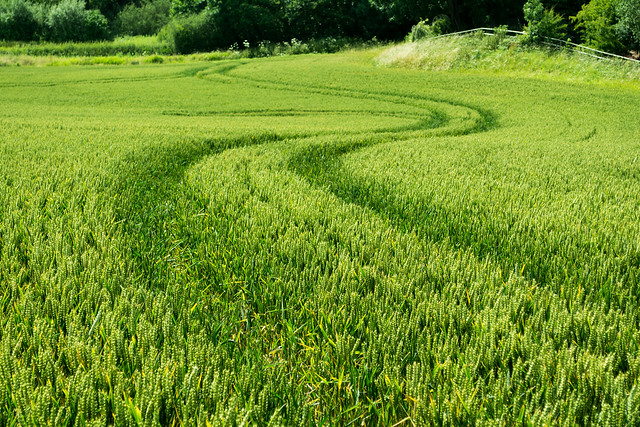 20150704-01_Sinuous Curves_Wheat Field near Cawston Rugby