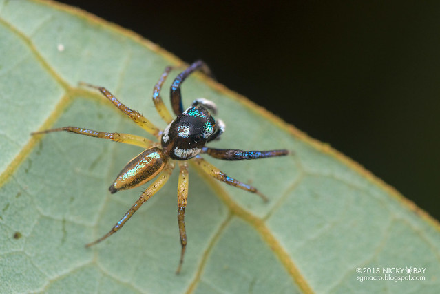 Jumping spider (Salticidae) - DSC_4786