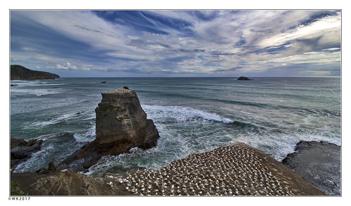muriwai gannet colony bird birds newzealand sea