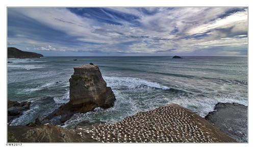 muriwai gannet colony bird birds newzealand sea