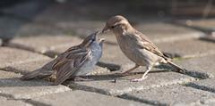Sparrows gone crazy feeding