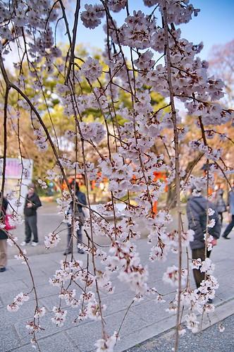 【写真】2013 桜 : 平野神社/2021-01-09/IMGP8707