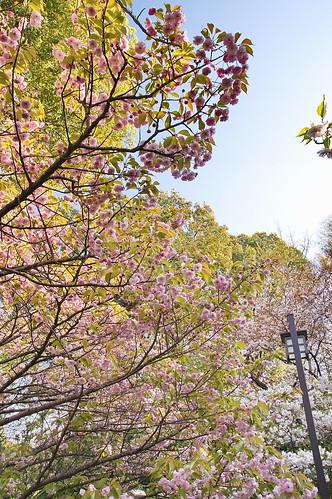【写真】2013 桜 : 梅宮大社/2019-06-14/IMGP0204