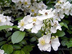 rosa wichuraiana, blossom, shrub, flower, branch, plant, rosa rubiginosa, produce, rosa multiflora, rosa pimpinellifolia,