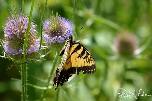 butterfly-kingsport-2