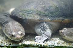 animal, turtle, reptile, marine biology, fauna, close-up, tortoise,