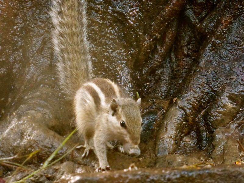 Mandapeshwar Caves - squirrel