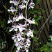Dendrobium pierarii