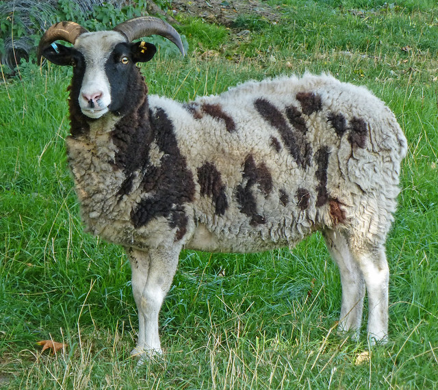 Sheep of the Day