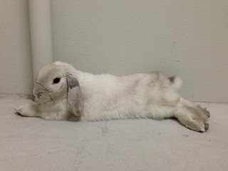 Flopped Lop