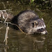 Small photo of Raccoon (procyon lotor)