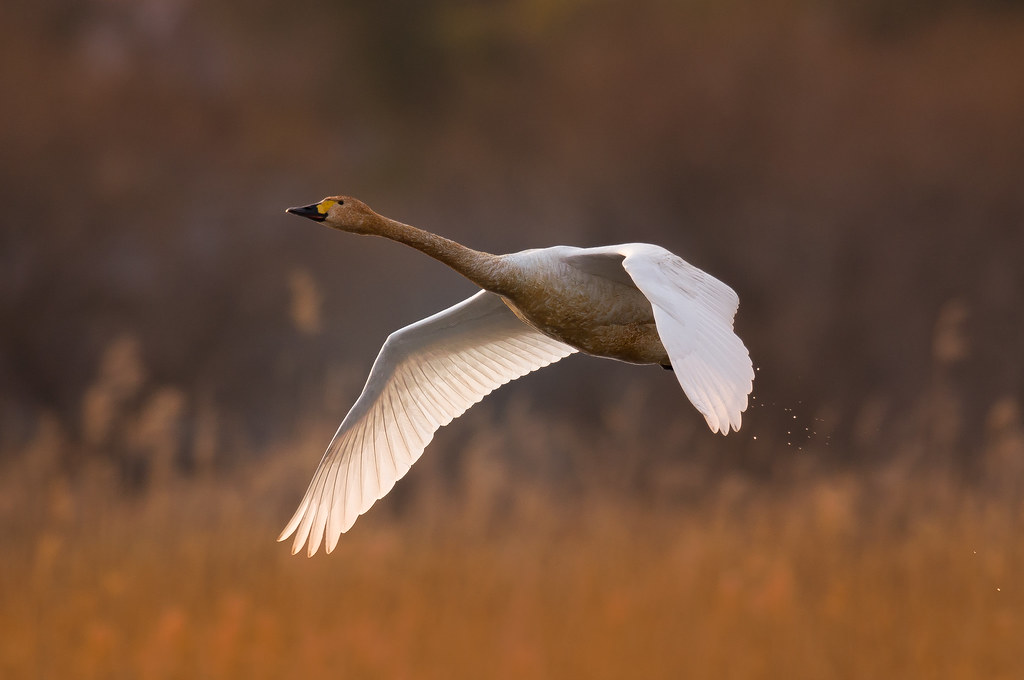 Swan in the Chaoyang