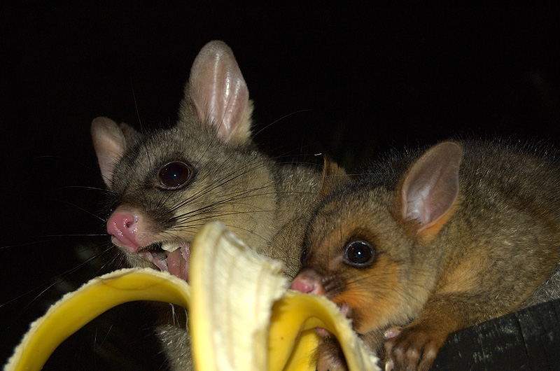possums_mother_and_child-3