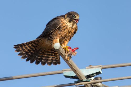Peregrine Falcon 2013-11-22 (_MG_2902)