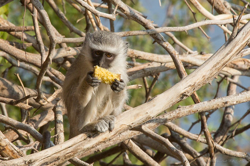 Vervet Monkey by andiwolfe