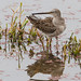 Long-billed Dowitcher by AVo Images