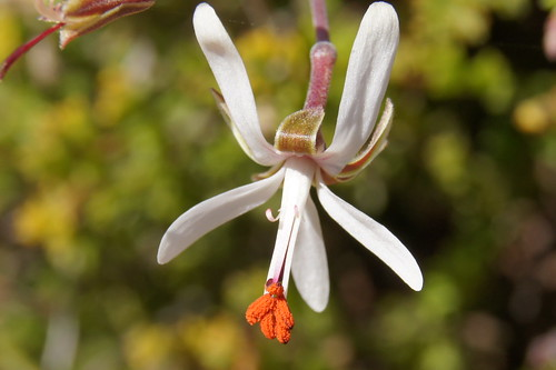 Pelargonium dasyphyllum, flower