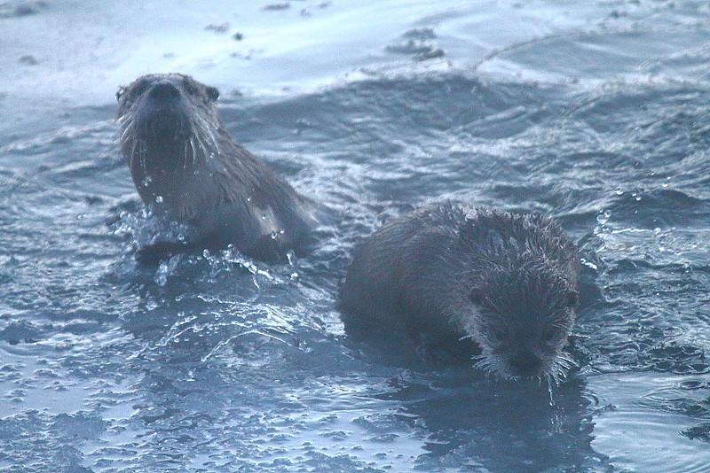 IMG_1443 River Otter, Nationa Elk Refuge