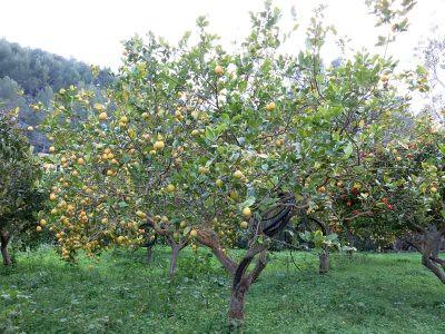 Ausgewachsener Zitronenbaum auf Mallorca
