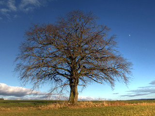 The old oak tree and the moon