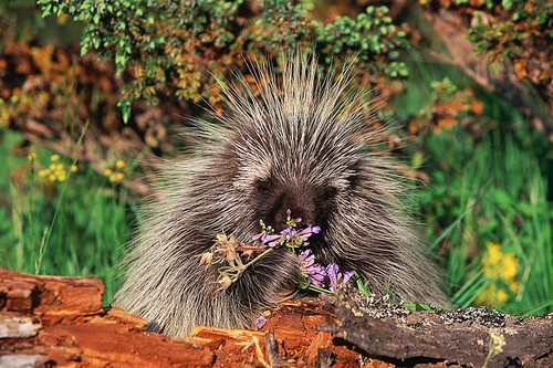 Wildlife in British Columbia, Canada: Porcupine