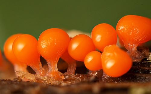 orange macro slimemould decipiens myxomycete trichia