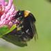 Bombus subterraneus (Short-haired Bumblebee)