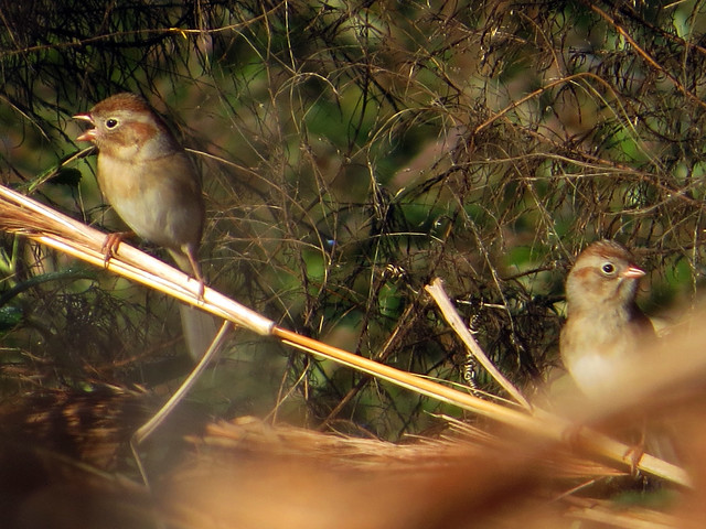 Field Sparrows (eBird record shot)