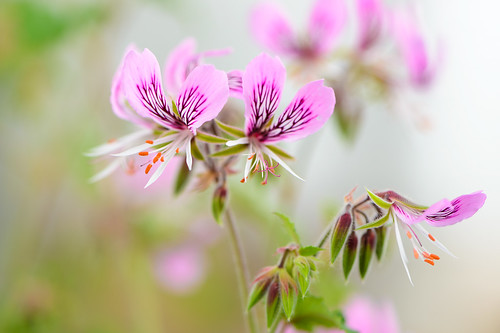 Delicately Pelargonium in Pink