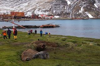 403 Zeeolifanten bij Grytviken