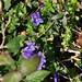 Les premières violettes, Bosdarros, Béarn, Pyrénées Atlantiques, Aquitaine, France. ©byb64