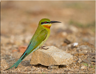 Blue Tail Bee Eater