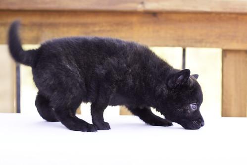 Nami-Litter1-Day40-Puppy1-Female(Kiyomi)-3