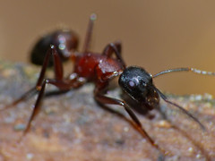Carpenter Ant (Camponotus ligniperdus) - Photo of Le Ménil-Broût