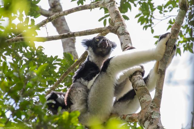 Indri Indri (indri)