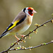 Slightly better Goldfinches by mike turtle