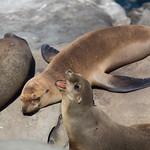 Sea Lion *yawn*
