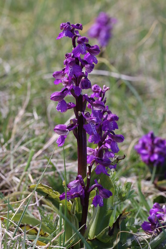 Green Winged Orchid Orchis morio