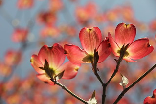 078/365 -- Colorful Dogwood