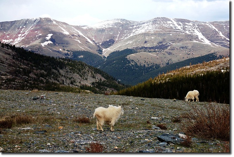 Mountain goats 9