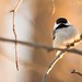 Black Capped Chickadee Hanging Out